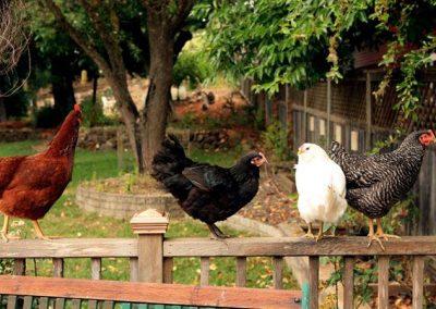 Backyard-Chickens-Porch-Railing.jpg.653x0_q80_crop-smart