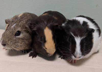 baby guineas