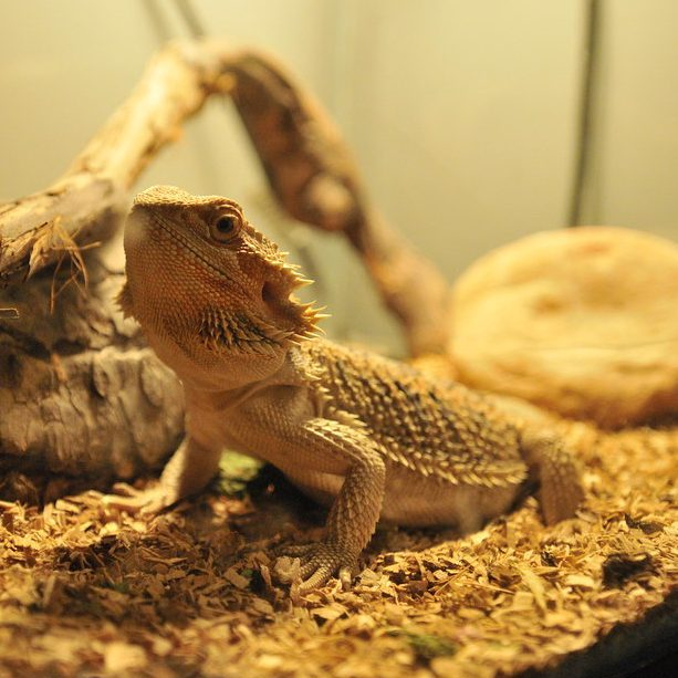 Pet bearded dragon.